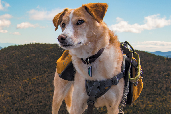 Dog hiking with hiking gear on.