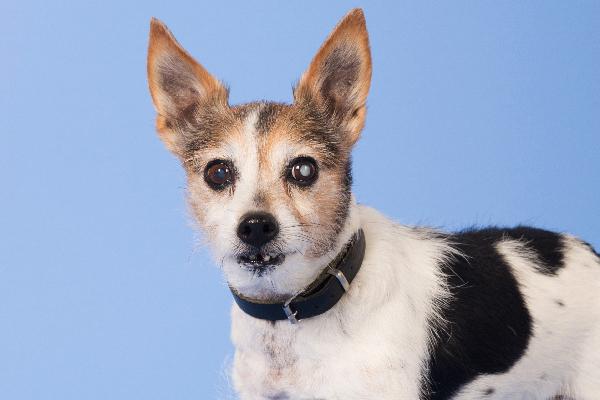 Dog with glaucoma.