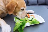 Lab dog eats cucumbers, carrots and lettuce.
