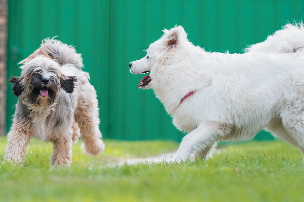 Two dogs playing outside.
