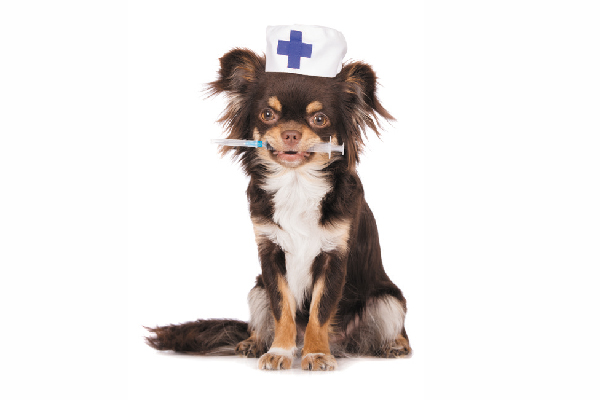 Dog holding a vaccine or shot with a First Aid hat on.
