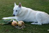 Dog sitting on the grass with onions.