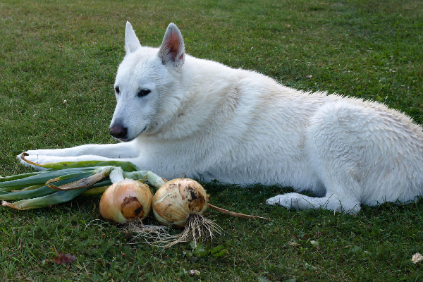 So Your Dog Ate Onions Heres What To Know And What To Do Next