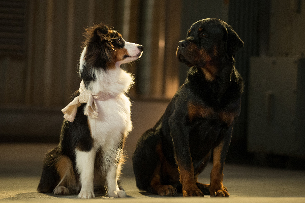 Show Dogs.
