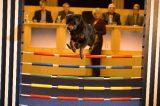 Show Dogs Rottweiler jumping.