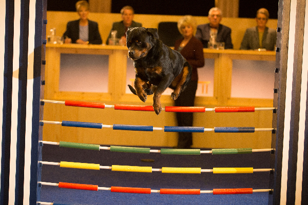 Show Dogs Rottweiler jumping.