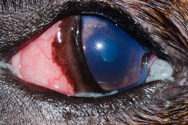 """This is a deep corneal ulcer with a divot,"" Dr. Alario says. ""It was caused by that eyelid mass you see in the corner. The dog also has very small distichia (extra eyelashes) along the lower eyelid."""