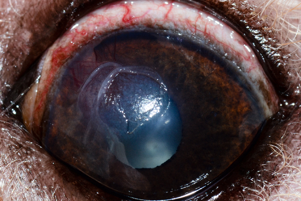 """This is an example of an indolent ulcer,"" Dr. Alario says. ""These are the ulcers that affect older dogs (mostly boxers). You can see there is a rip in the surface of the cornea (epithelium) but no divot. This is the type of ulcer that needs to be debrided (ideally by an ophthalmologist, though so vets can do this)."""