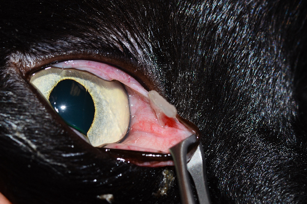 """This shows a very small ulcer on the cornea (really hard to see here) but the cause of the ulcer is that cat claw nail under the third eyelid,"" says Dr. Alario. ""In this case it was a cat scratch after all. Shows why it's important to have the vet look for an underlying cause."" Photography courtesy Dr. Anthony Alario."