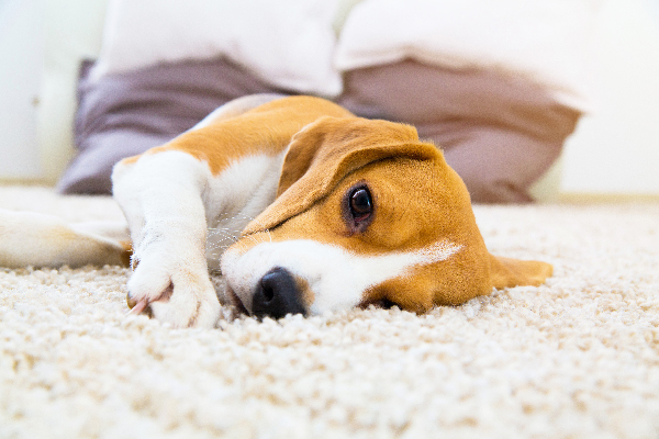 A Beagle dog on the floor looking sick.