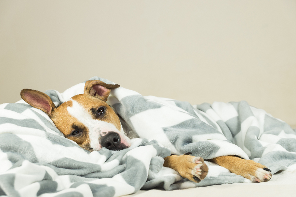 A dog asleep or sick in a pile of blankets.