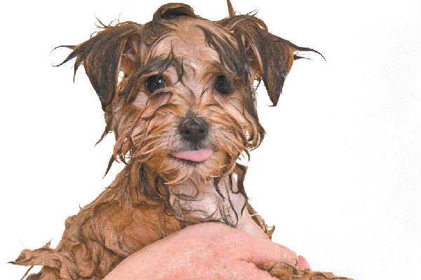 A wet dog getting a bath.