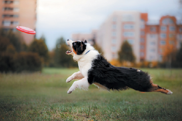 Australian Shepherd jumping after frisbee.