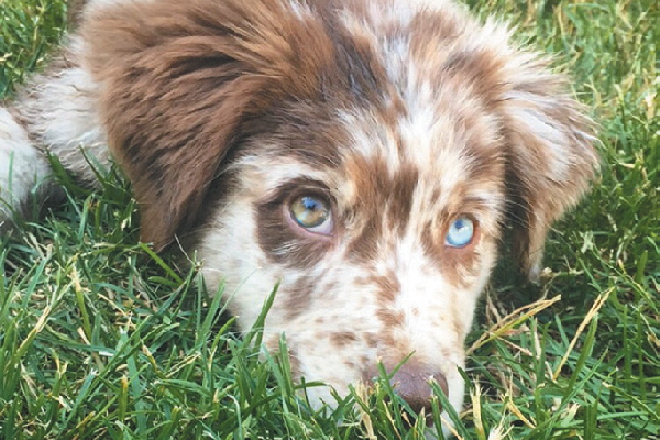 Australian Shepherd on the grass.