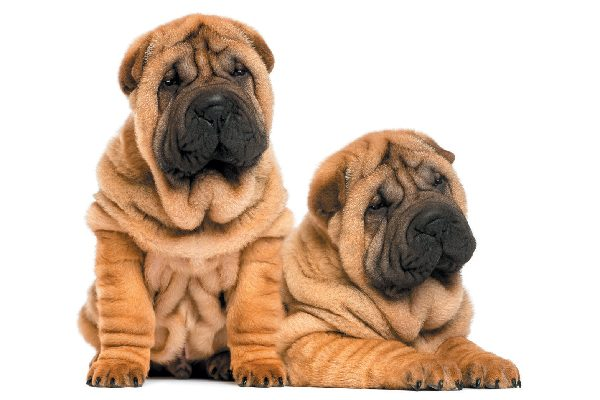 Two wrinkled Shar-Pei puppies rest side-by-side.
