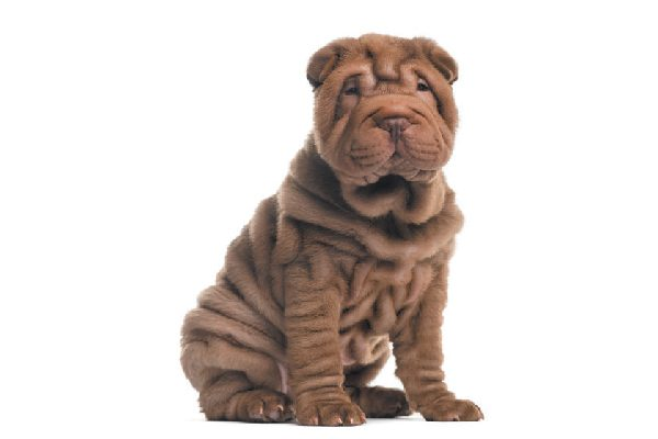 A brown Shar-Pei seated.