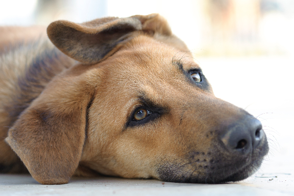 What to Know About Yeast Infection in Dogs