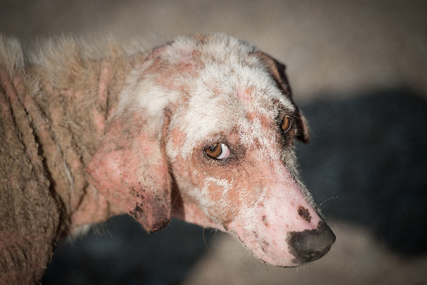 A dog with skin issues or a skin disease.