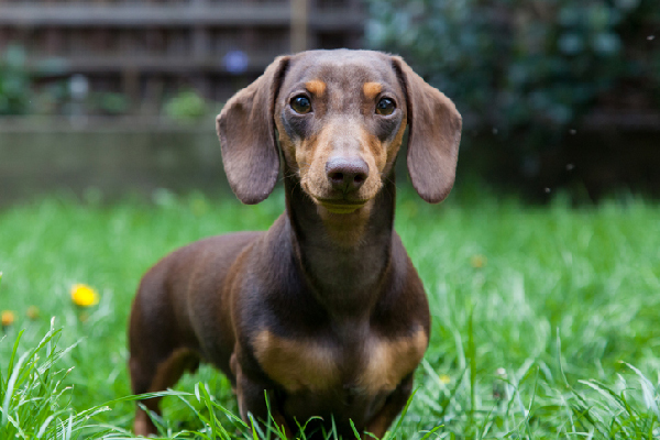 Miniature Dachshund Dog Breed