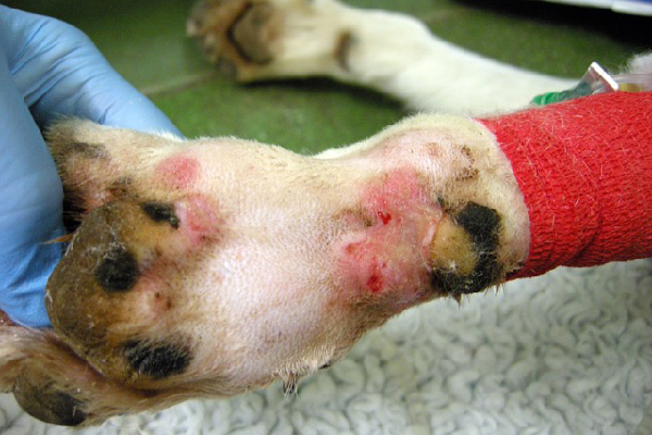 A case of Alabama rot in a dog.