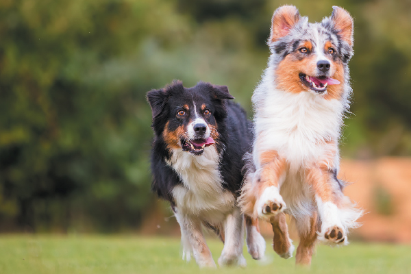 Two Australian Shepherds running.