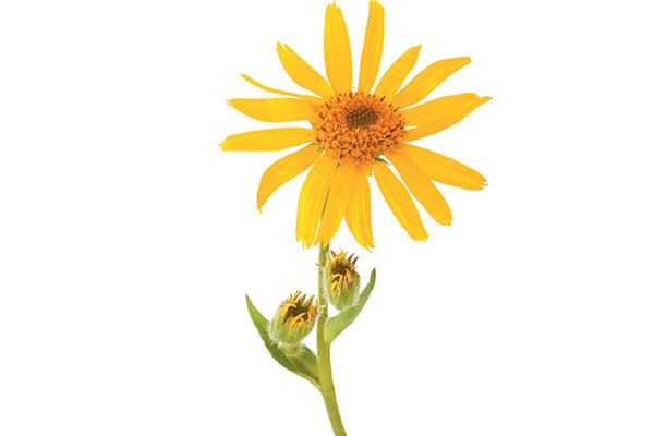 Natural remedies — Arnica. Photography by ©scisettialfio | Getty Images.