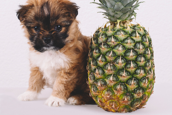 A dog posing with a pineapple fruit.
