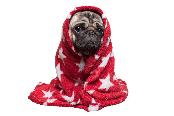 A sick dog wrapped in a towel or blanket.