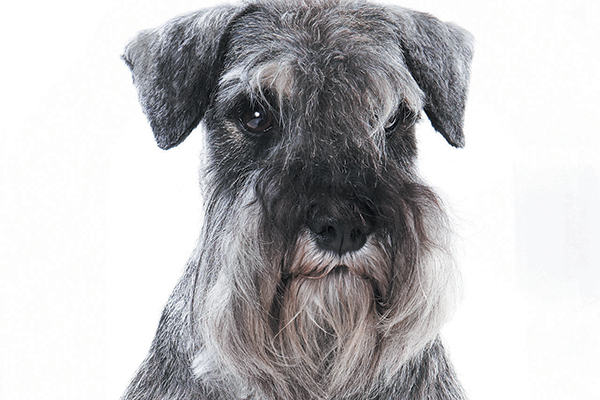 A Miniature Schnauzer is known for his whiskers and facial hair. Photography ©Dixi_ | Getty Images.