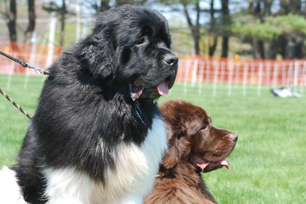 Newfoundland dogs.