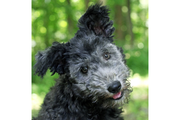 Pumi. Photography courtesy Sandy Mainardi and M. Nicole Fischer.