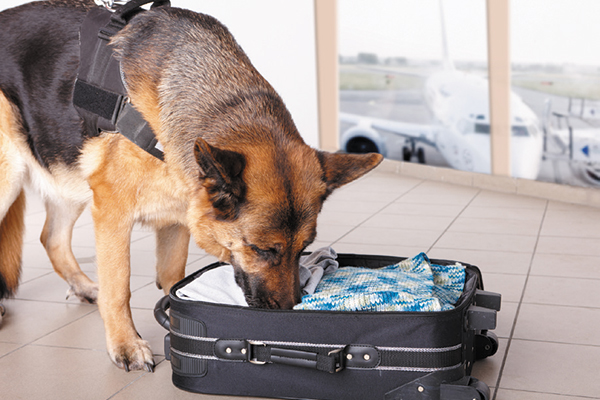 Some K9s are retiring early because they can't be retrained to ignore a smell. Photography ©danisacch | Hibrida13 | Getty Images.