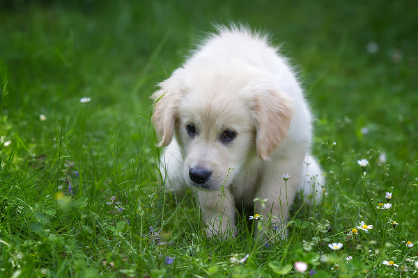 A puppy on a grass green area, squatting / pooping.