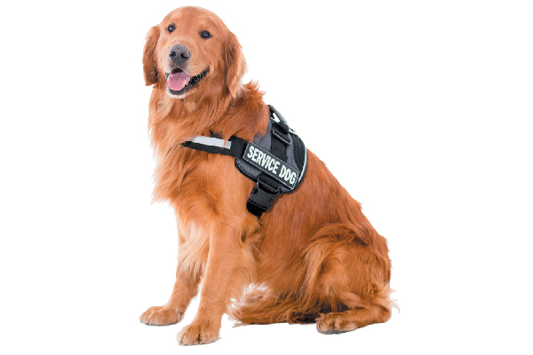 A service dog with a training vest on. Photography ©andresr | Getty Images