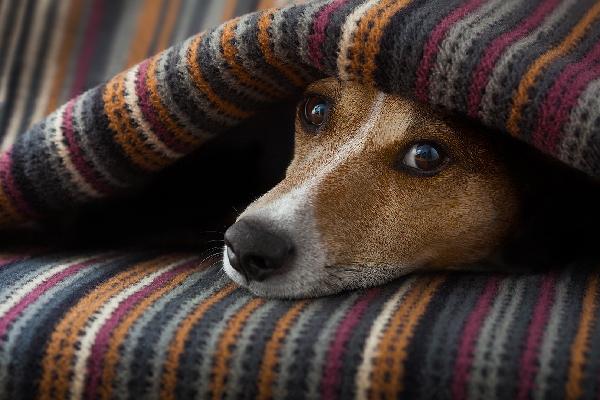 A sick dog lying under blankets.