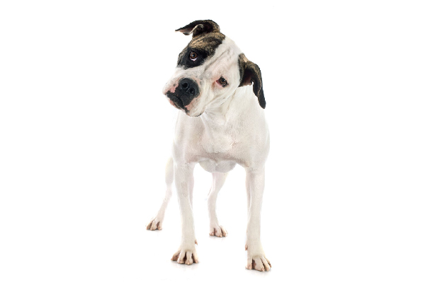 An American Bulldog.