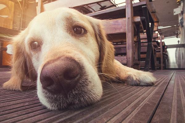 Close up of a dog nose or a dog sick or sad on the floor.
