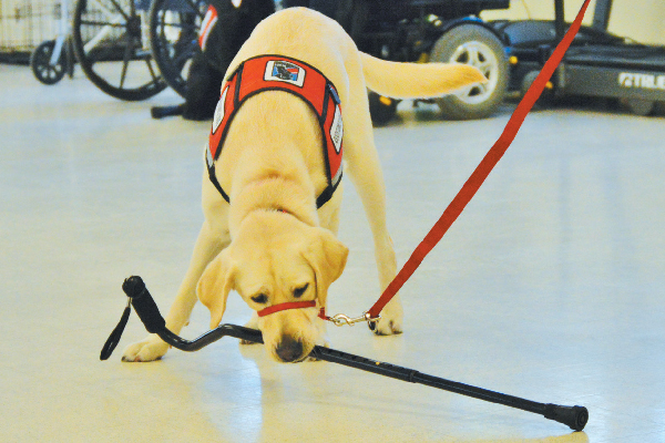 A service dog in training.