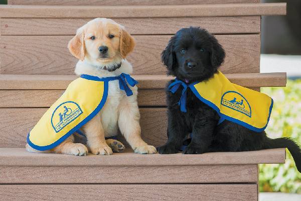Service dog puppies.