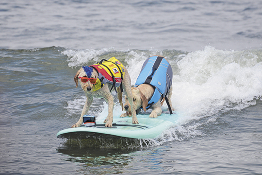 Watch pups catch the wave at the World Dog Surfing Championships at Linda Mar Beach in California.