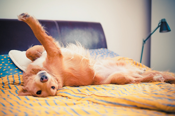 Bigger space might be the reason why your dog is sleeping in bed with you. Photography ©grki | Getty Images.