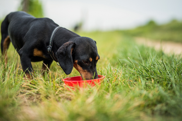 A Dachshund drinking water outside in the grass.