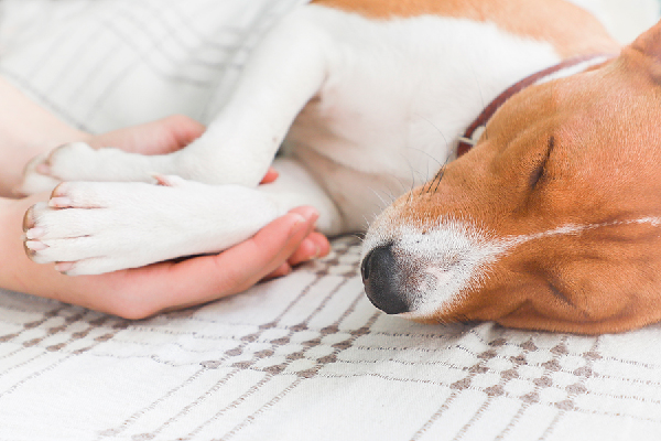 A dog asleep or sick paws being held by human hands.