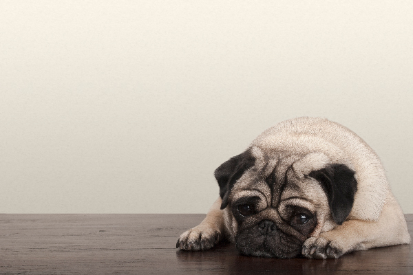 A sick or tired pug lying down on the floor.