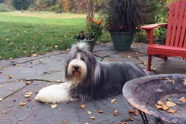 Bearded Collie.