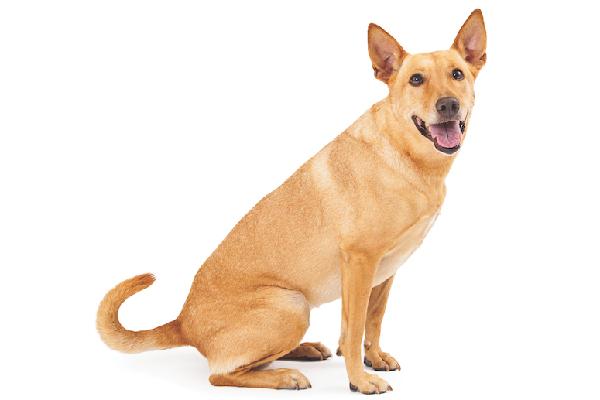 A Carolina Dog.