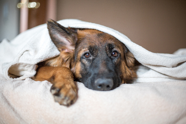 Dog asleep or sick wrapped up in blankets.