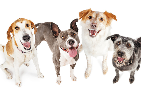 Genetic testing can predict if an individual dog is at risk for certain diseases. Photography ©adogslifephoto   Getty Images.