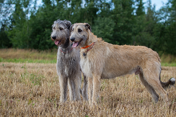 Two Irish Wolfhounds.