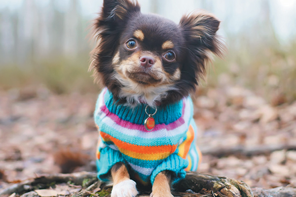 The Chihuahua dog is very sensitive to the cold weather. Photography ©Eudyptula | Getty Images.